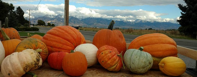 Pivot Irrigation Fuels Growth of Giant Pumpkins